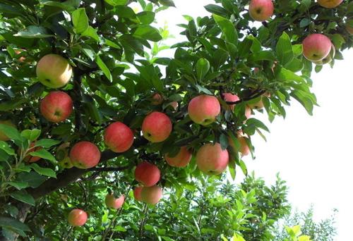 蘋果專用摻混肥