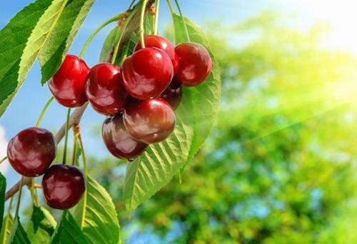 櫻桃專用復混肥