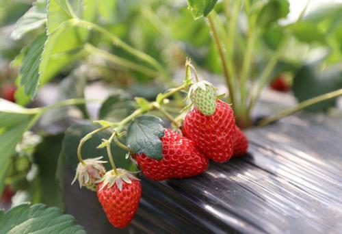 草莓專用撒施肥