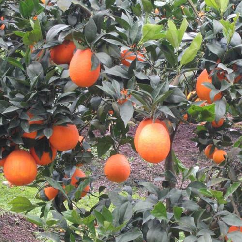 果樹有機肥
