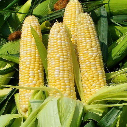 玉米有機肥