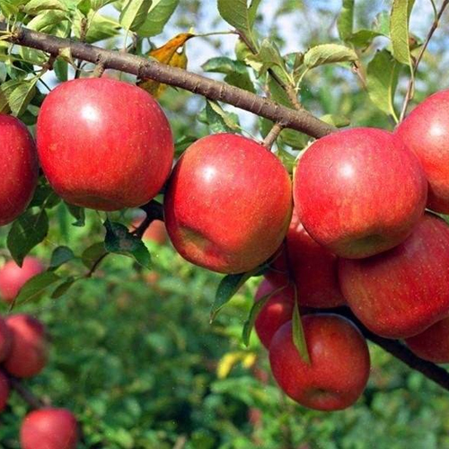 蘋果有機肥